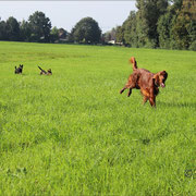 Samba (vorne) mit Emma (links) und einem Ausbüchser-Terrier