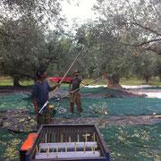 Bild mit Olivenbäumen zwei Männer die Oliven ernten eine Maschine Klaru mit der die Oliven von den Zweigen getrennt werden.