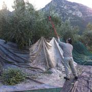 Bild mit Olivenbaum und Berg ein mann der mit einem elektrischem Werkzeug die Oliven von den Bäumen schüttelt.
