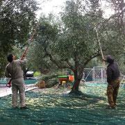 Bild mit Baum zwei Männern die mit elektrischem Werkzeug die Oliven von den Bäumen schüttelt.