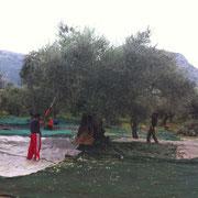 Bild mit Olivenbaum  zwei Männern bei der Olivenernte