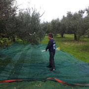 Bild mit einem Jungen der mit einem Ernterechen die Oliven von den Bäumen schlägt.