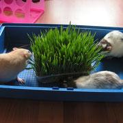 Jinti, Fling en Aygo ontdekken hun nieuwe tuintje