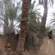 Le palmier aux citrons ! Non, je me trompe aux six troncs.