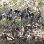 Chèvres sur un arganier