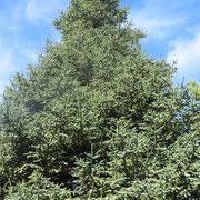 Un arbre protégé, le pin-sapin