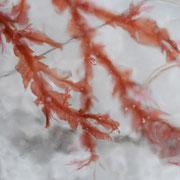 Algen in gefrorenem Meerwasser, Andøy, Norwegen. Februar 2011 © Robert Hansen