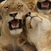 Löwen nach der Ochsentour, NgoroNgoro-Krater, Tansania. Dezember 2011 © Robert Hansen