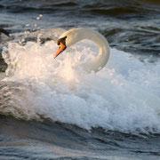 Schwan schwimmt in der Brandung, Gotland, Schweden. April 2010 © Robert Hansen