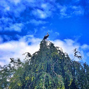 Storch in Scheiblingkirchen