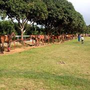 Polopferde warten auf ihren Einsatz