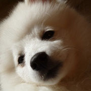Japanspitz Hana vom Soonwaldblick 3 Monate alt
