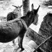Les ânes de la maison