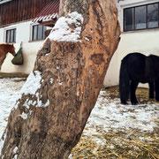 Highlight im Paddock: Apfelbaum zum Schubbern