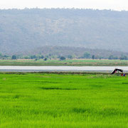 Reisfelder am Ubolratana See