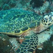 Meeresschlidkröte