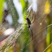 Diese Spinnenart ist zum Teil giftig, aber nicht tödlich!