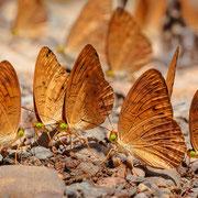 Schmetterlinge Kaeng Krachan Nationalpark