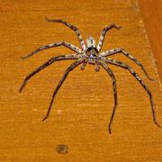 Ist keine giftige Spinne, jedoch unattraktiv. Sie triff man öfters im Bungalow an.