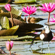 pheasant tailed jacana bird