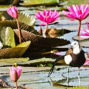 pheasant tailed jacana bird