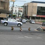 Achtung: Affen auf der Strasse!