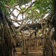 Banyan Baum in Phimai