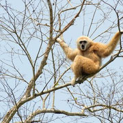 Gibbons im Kaeng Krachan National Park