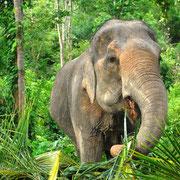 Elefanten auf einer Nordthailand Rundreise erleben.