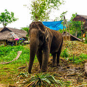 Rundreise: Elefantenfest in Ban Ta Klang