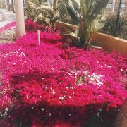 schöne Blumen in Torrox Costa