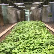 赤そばの水耕栽培。照明はメタルハライドランプ。乾燥を防ぐため、定期的にミストが出てくる。