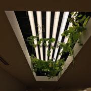 折り上げ天井にも植栽が!!。