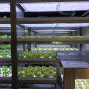 こちらは野菜工場。使用する照明は熱くならないHEFL(ハイブリッド電極蛍光管)。