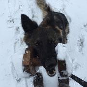 Ixy vom Haus Ehrlich: apporteren in de sneeuw