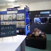 オープンしたウミガメ展示室です。