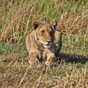 Löwe ( Lion )