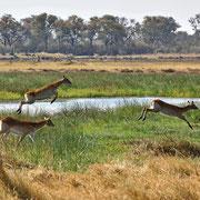 Moorantilope ( Red Lechwe )