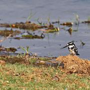 Graufischer ( Pied Kingfisher )