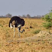 Strauss ( Ostrich )
