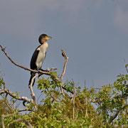 Kormoran ( Reed Cormorant )