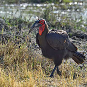 Hornrabe ( Ground Hornbill )