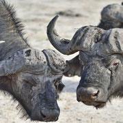 Büffel ( Buffalo )