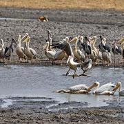 Pelikan & Marabu ( Great White Pelican & Marabou Stork )