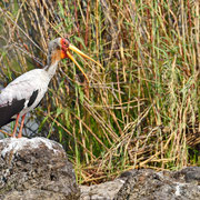 Nimmersatt ( Yellowbilled Stork )