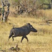 Warzenschwein ( Warthog )