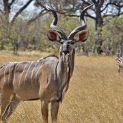 Kudu ( Kudu )