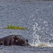 Flußpferd ( Hippo )