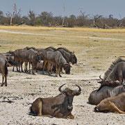 Gnu ( Wildebeest )