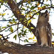 Blassuhu ( Verreaux Eagle Owl )